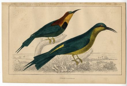 1858 Antique Print BIRDS Bee Eater VICTORIAN ENGRAVING Hand Colour (Pl 1)